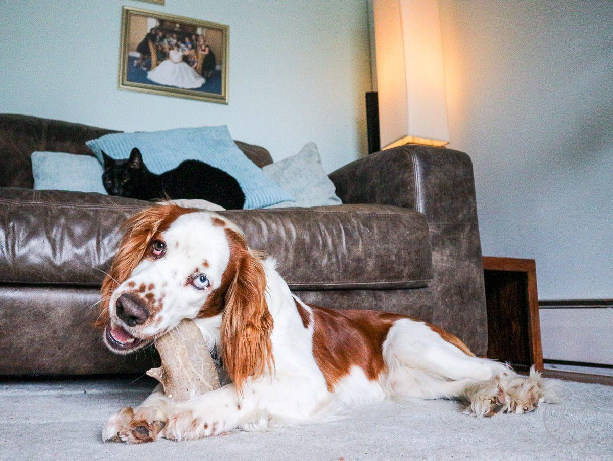 Puppy, Welsh Springer Spaniel, Puppy Tips, Dog Tips, Spaniel Puppy, Petplan