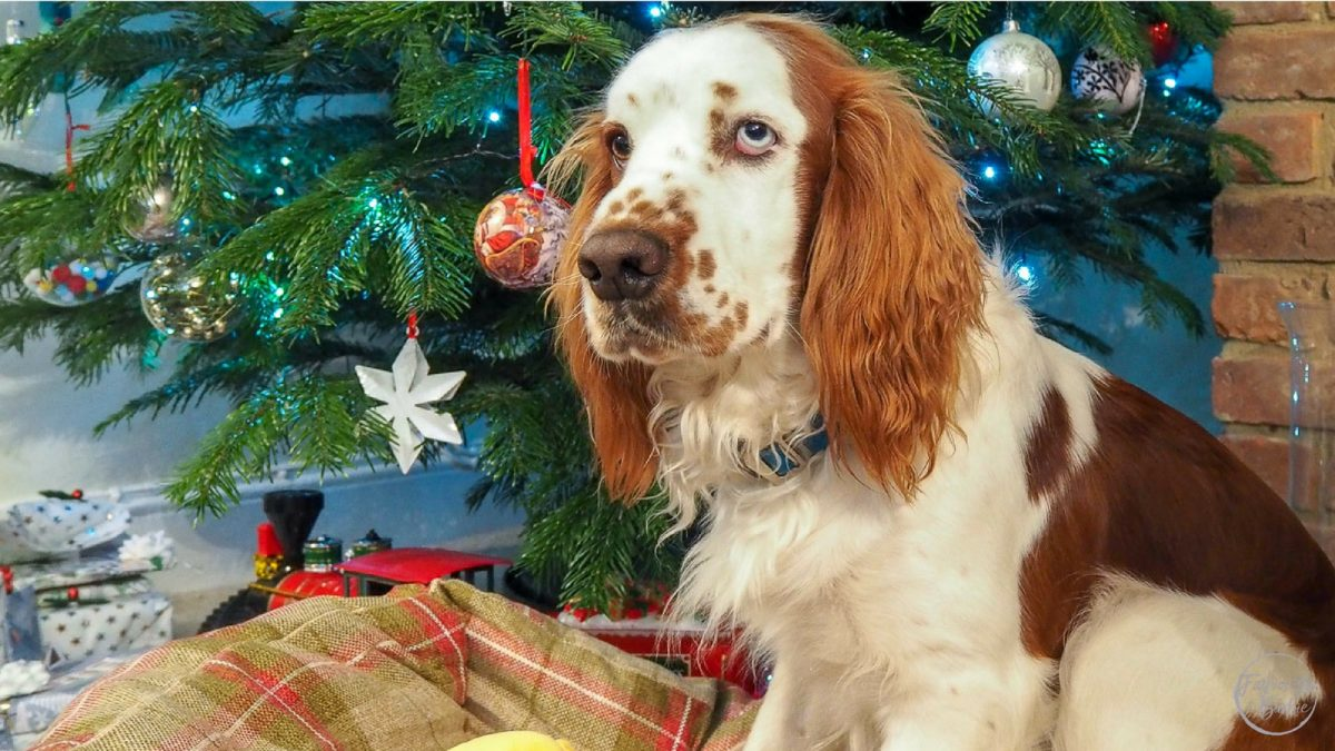 christmas,dog dangers at christmas,falcon, dog,