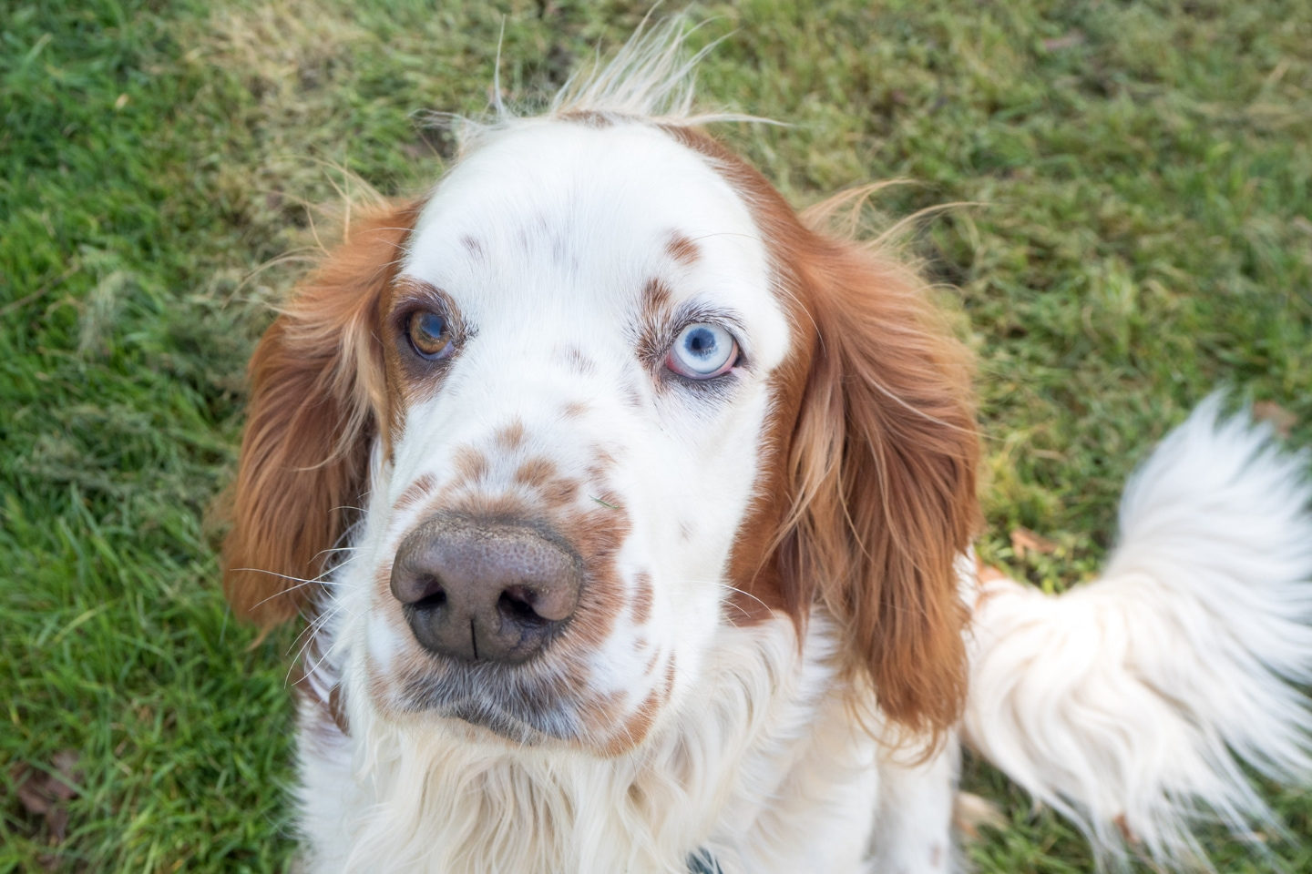Falcon, Welsh Springer Spaniel, Springer Spaniel, James Wellbeloved, Dog, Dog Friendly